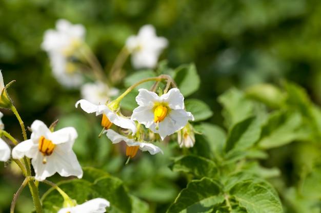 Kartoffelblüte während des wachstums, ein landwirtschaftliches feld mit einer kartoffelpflanze im sommer