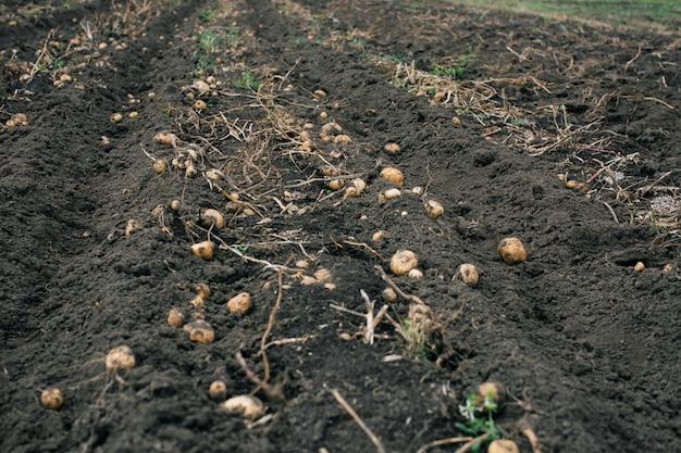 Kartoffelernte. kartoffeln auf dem feld