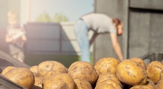 Kartoffelernte. vor dem hintergrund eines gartens.