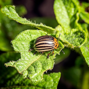 Kartoffelkäfer. insekten-nahaufnahme. schädlinge