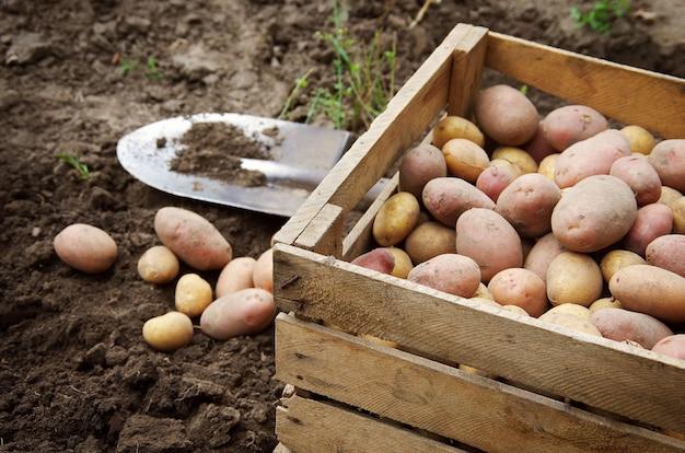 Kartoffeln auf einem landwirtschaftlichen feld ernten