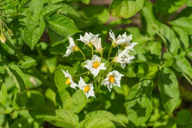 Kartoffeln blühen im garten mit weißen blüten
