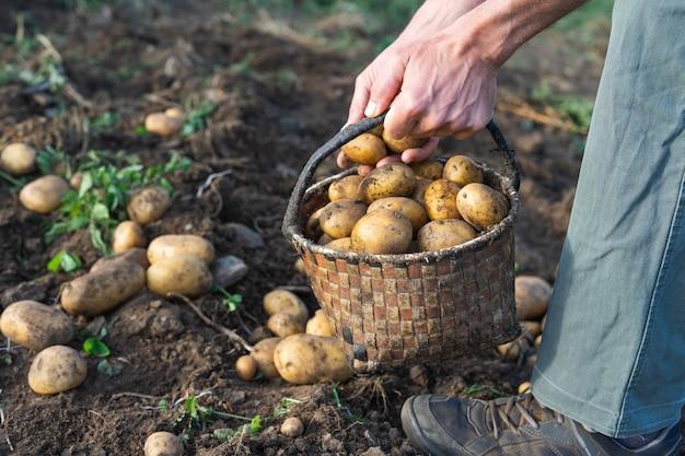 Kartoffeln frisch vom boden. mann, der kartoffeln sammelt. landwirtschaft.