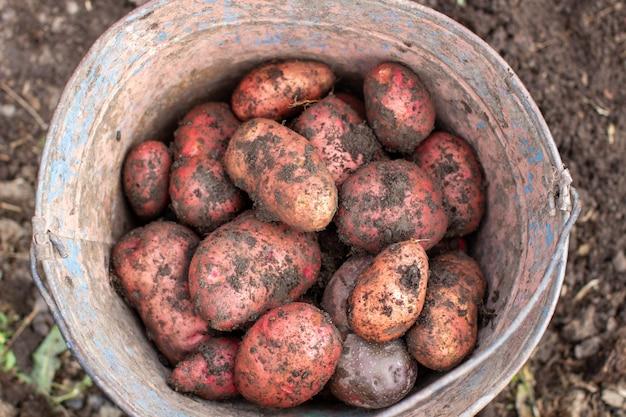 Kartoffeln im garten graben. gesammelte kartoffeln in einem eimer.