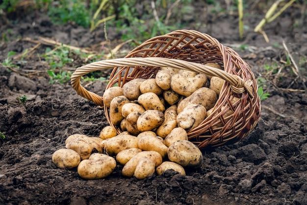 Kartoffeln in einem weidenkorb ernten, kartoffeln anbauen