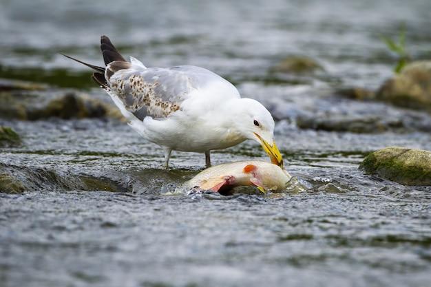 Kaspische möwe, die an einem fisch im strom füttert.