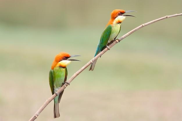 Kastanie ging bienenesser merops leschenaulti schöne vögel von thailand voran