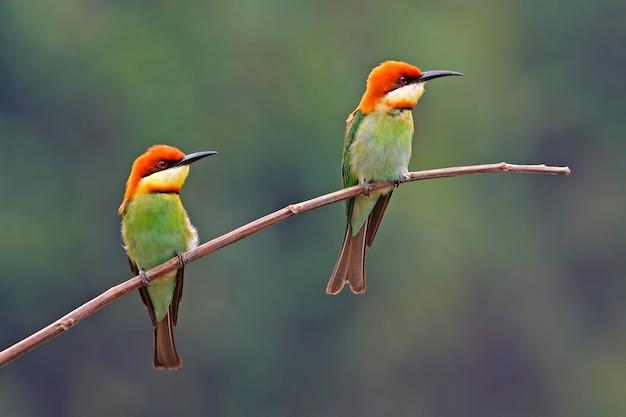 Kastanie-köpfiger bienenfresser merops leschenaulti schöne vögel von thailand