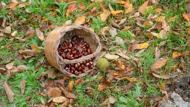 Kastanienernte im weidenkorb