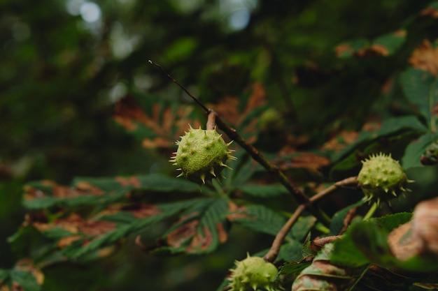 Kastanienfrucht auf einem baum