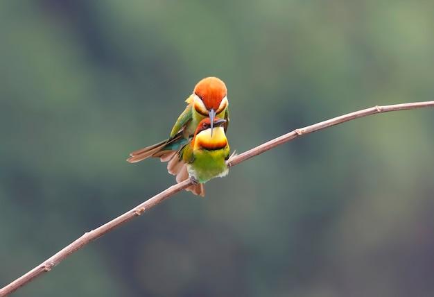 Kastanienköpfiger bienenfresser merops leschenaulti schön