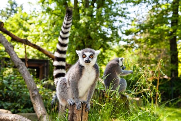 Katta in die kamera schaut, lemur catta