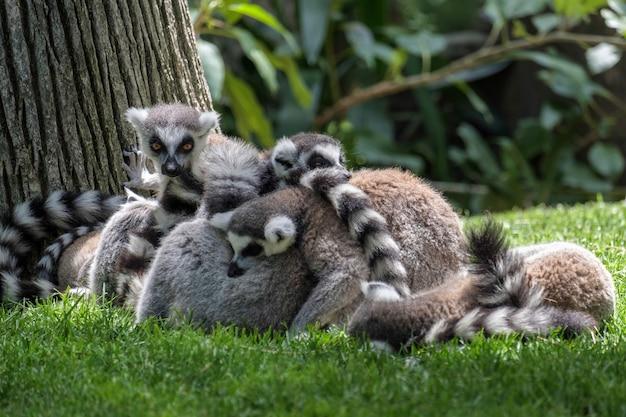 Katta (lemur catta) im bioparc in fuengirola