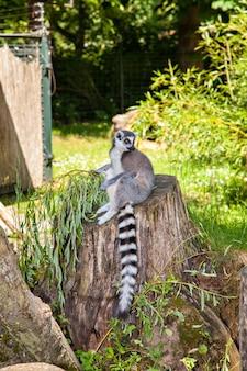 Katta, lemur catta