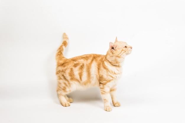 Katze auf weißem hintergrund