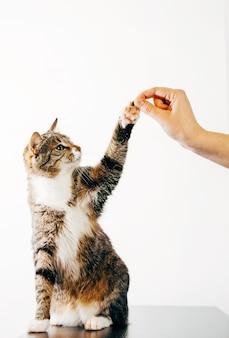 Katze berührt die menschliche hand, die gestreifte katze frisst das futter von der hand