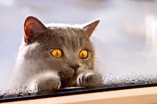 Katze der britischen zucht schauend innerhalb des fensters