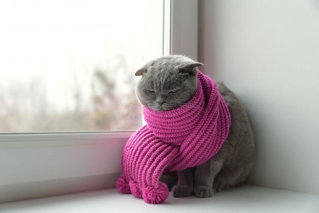 Katze der schottischen britischen rasse, eingewickelt in einen warmen schal, der aus dem fenster auf den schnee schaut