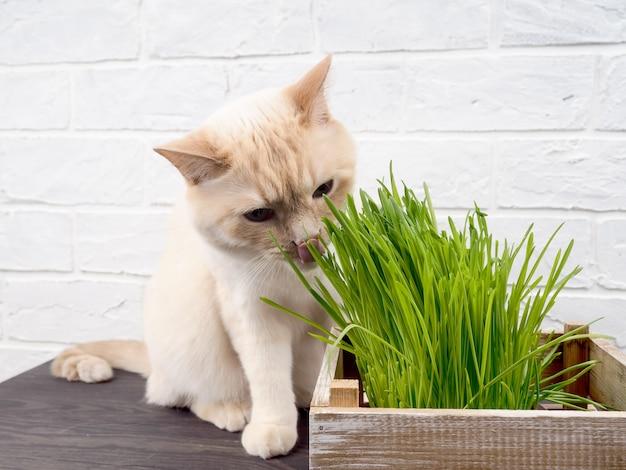 Katze, die gras isst, schöne cremefarbene tabbykatze, die frisches gras auf grünem hintergrund isst. katze frisst frisches grünes gras.