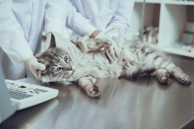 Katze, die ultraschall-scan-schwangerschafts-prüfung hat