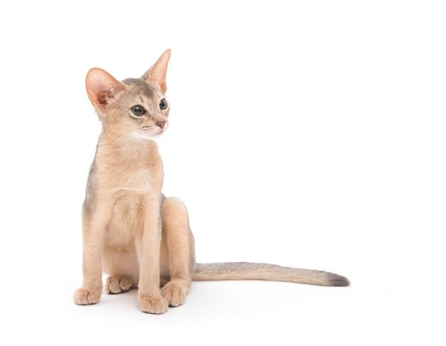 Katze isoliert mit kopierraum