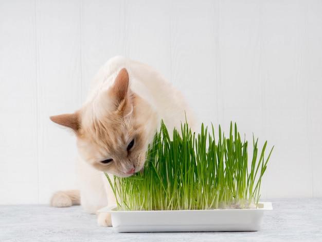 Katze isst frisches grünes gras. katzengras, haustiergras. natürliche haarballbehandlung.