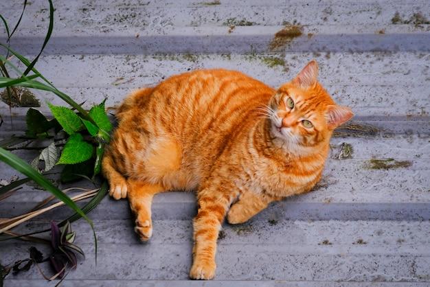 Katze liegt auf dem boden. ingwerkatze schön