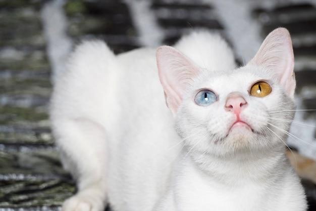 Katze mit 2 verschiedenen augenfarben tapetenhintergrund