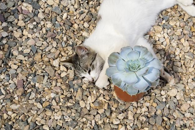 Katze mit echeveria