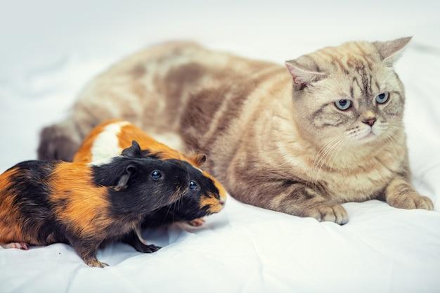 Katze mit zwei meerschweinchen, die zusammen auf einer weißen decke liegen