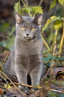 Katze russisch blau