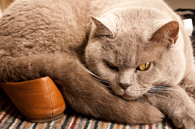 Katze schläft auf den schuhen