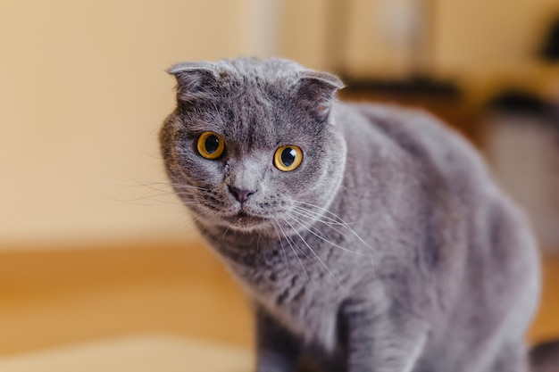 Katze scottish fold, die im raum sitzt