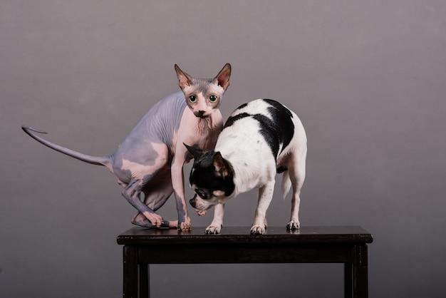 Katze und hund zusammen vor grauem hintergrund im studio, kanadischer sphynx, chihuahua