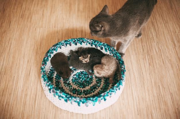 Katze und vier flauschige britische kätzchen schlafen in einem hellen korb