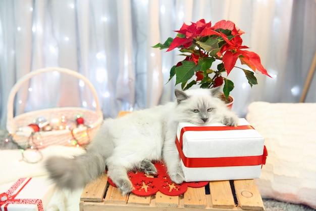 Katzen- und weihnachtsblumen-weihnachtsstern indoor