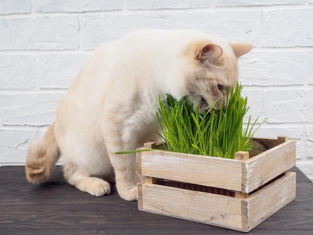 Katzengras, haustiergras. natürliche kräuterbehandlung, weiße, rote haustierkatze, die frisches gras, grünen hafer isst,