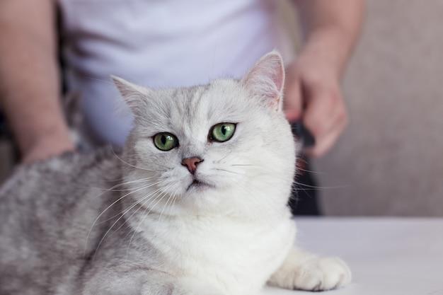 Katzenpflege. kämmen sie die haare eines schönen britischen kätzchens.