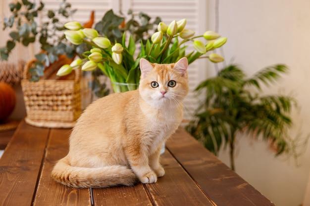 Katzenrasse goldene britische chinchilla, die auf dem tisch sitzt