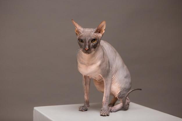 Katzenrasse sphinx auf einem grau