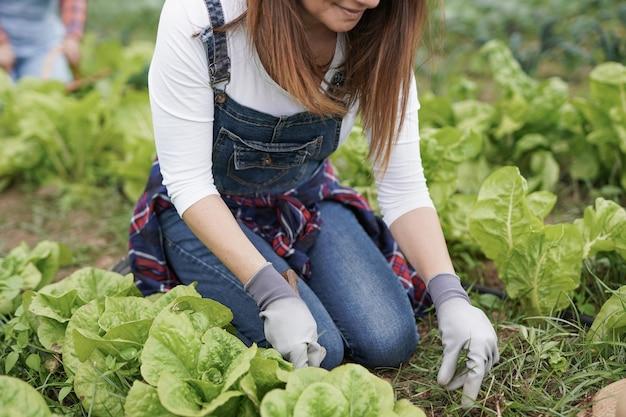 Kaukasische frau, die im garten arbeitet und frischen salat aufsammelt - frisches und gesundes essen