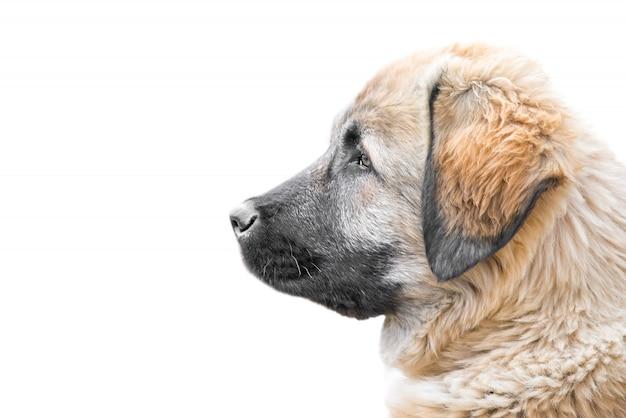 Kaukasischer schäferhundewelpen-profilporträtabschluß oben lokalisiert auf weißem hintergrund mit einem raum für text
