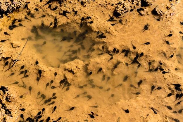 Kaulquappen im kleinen wasser