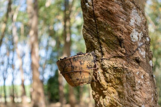 Kautschukbaum (hevea brasiliensis) produziert latex. mit dem messer an der außenseite abschneiden