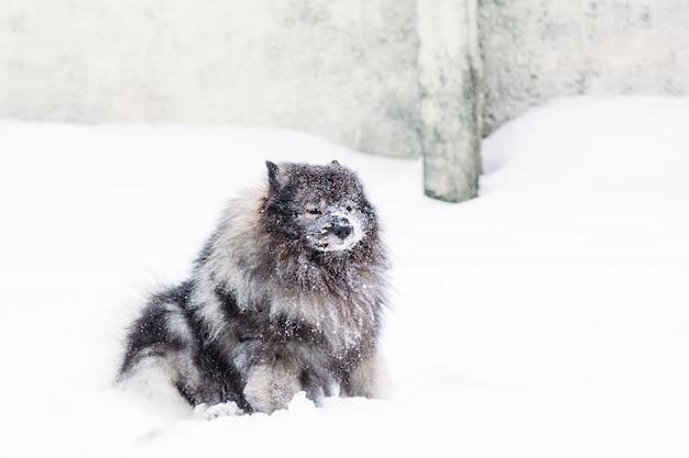 Keeshond mit der schnauze im schnee