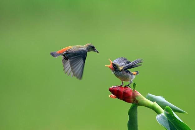 Kemande-vogel (dicaeum trochileum) füttert ihre jungen