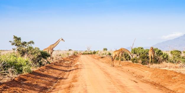 Kenia, tsavo-ost-nationalpark. kostenlose giraffe im abendlicht.