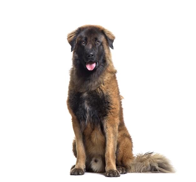 Keuchender mischlingshund, der vor weißem hintergrund sitzt