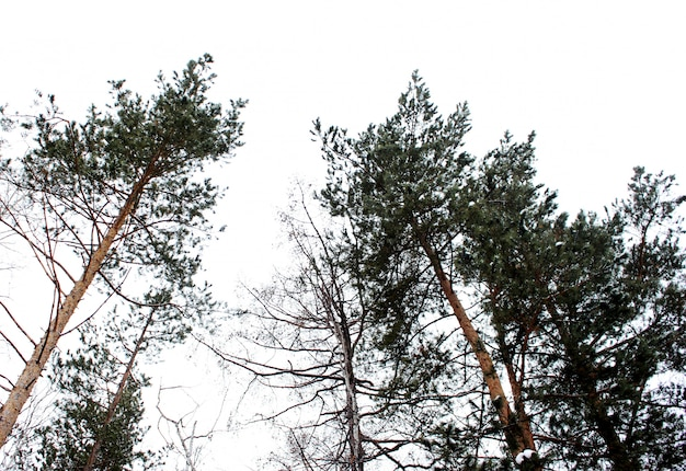 Kiefer gegen den weißen himmel im winterwald