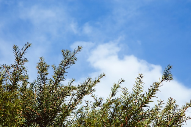 Kiefer im wald gegen den blauen himmel
